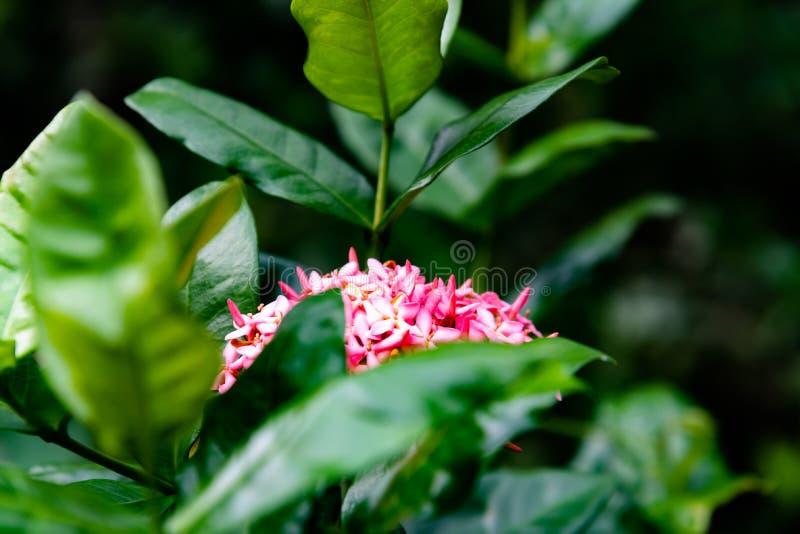 Flor rosado de la flor del punto en un jardín, un rey Ixora que florece y un x28; Chinensis& x29 de Ixora; Flor del Rubiaceae imagen de archivo libre de regalías