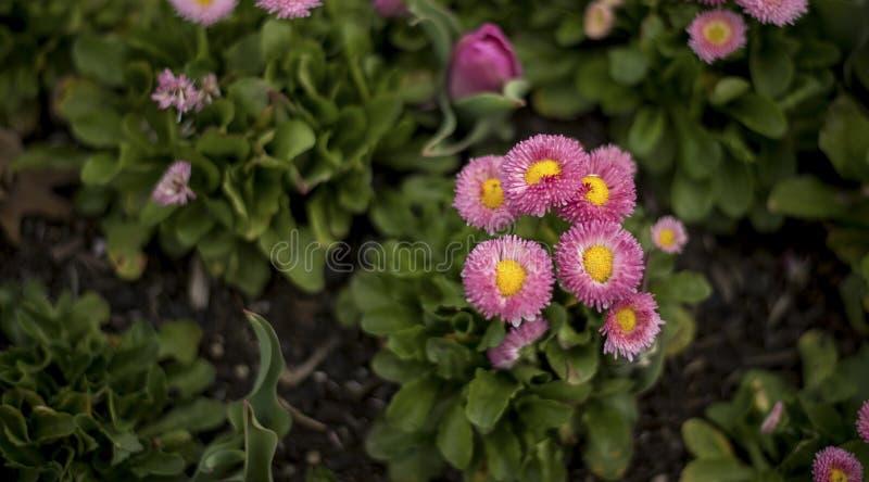 Flor rosado de la flor imagenes de archivo