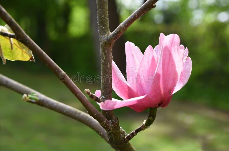 Flor rosado de la magnolia en una ramita imagen de archivo