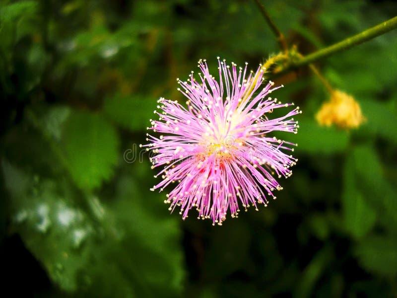 Flor rosado de la flor de la mimosa en el salvaje fotos de archivo
