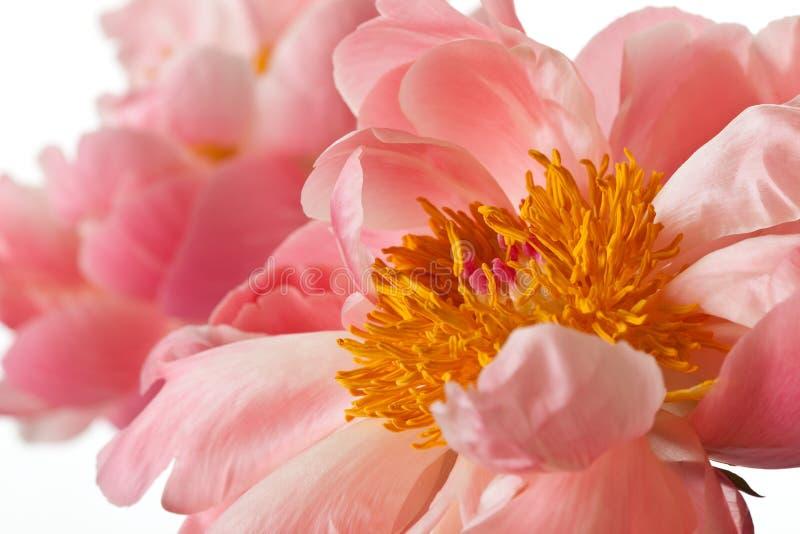 Flor rosado de la peonía aislado fotos de archivo