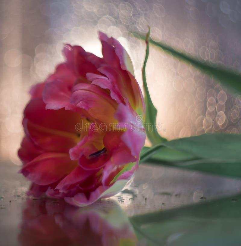 flor rosado del fondo del bokeh del primer del tulipán de la flor fotografía de archivo