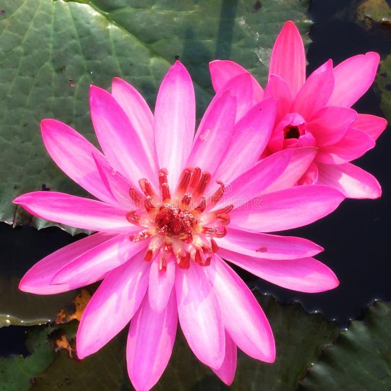 Flor rosado del loto fotografía de archivo libre de regalías
