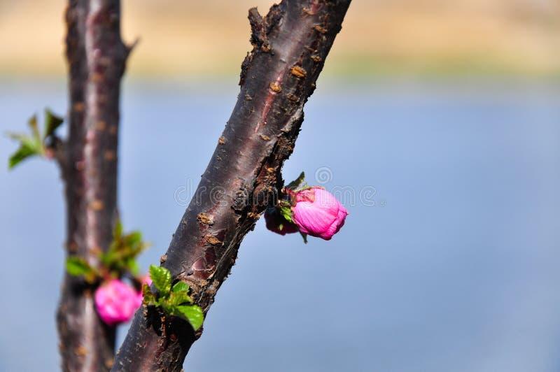 Flor rosado del melocot?n en tiempo de primavera fotografía de archivo
