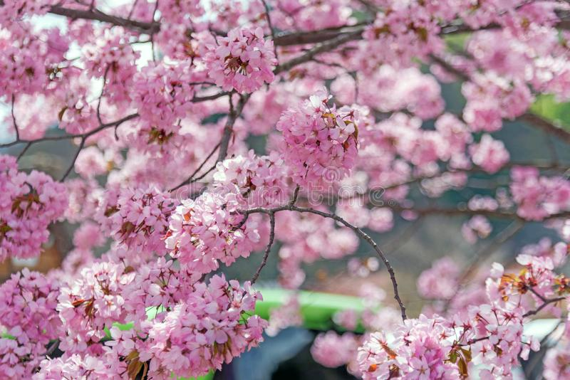 Flor rosado del primer en Japón foto de archivo