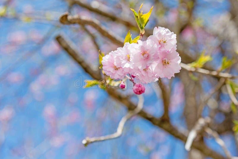 Flor rosado en Japón con el cielo azul fotos de archivo libres de regalías