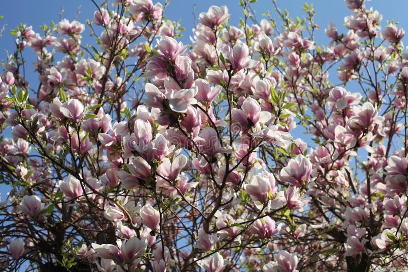 Flor rosado en un árbol contra un cielo azul foto de archivo