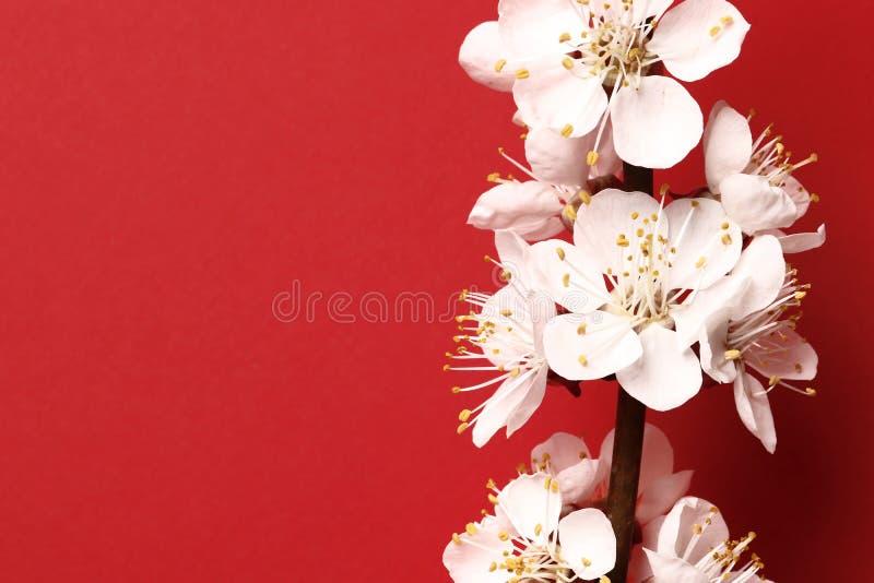Flor rosado hermoso del melocotón árbol de melocotón de florecimiento en un fondo rojo imagenes de archivo