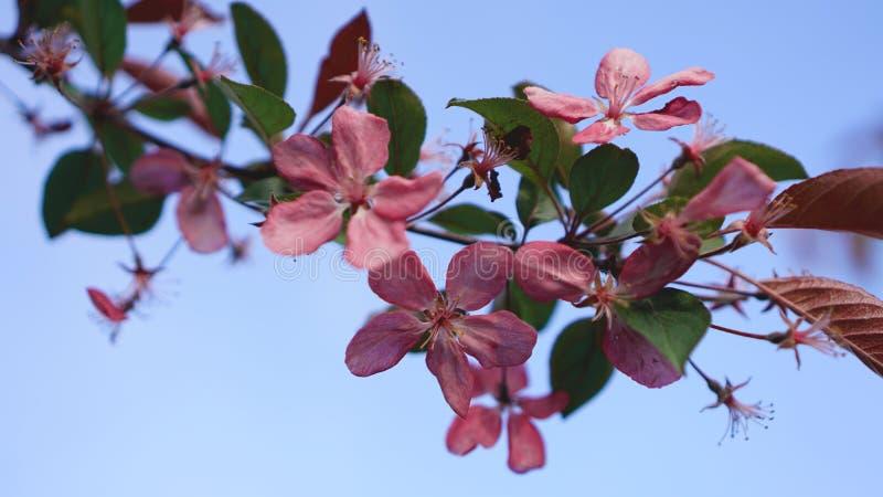 Flor rosado hermoso del melocot?n en fondo del cielo azul imagenes de archivo