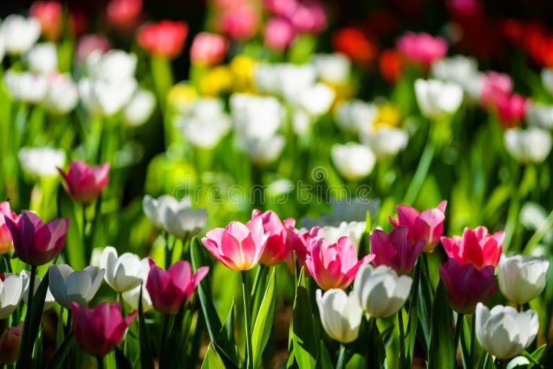 Flor rosado y blanco de la flor del tulipán imagenes de archivo