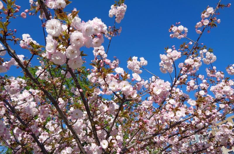 Flor rosado y cielo azul fotos de archivo libres de regalías