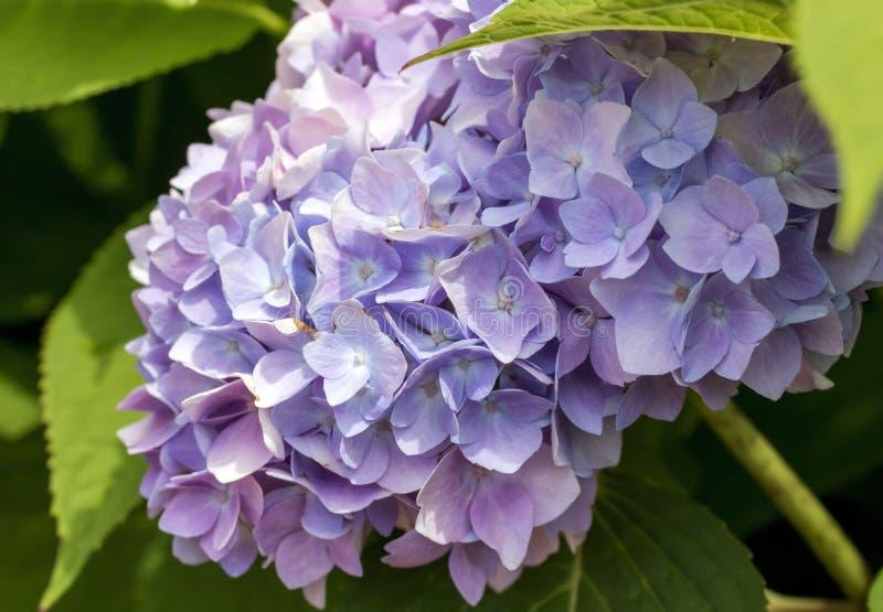 Flor rosado y púrpura de la hortensia imagen de archivo libre de regalías