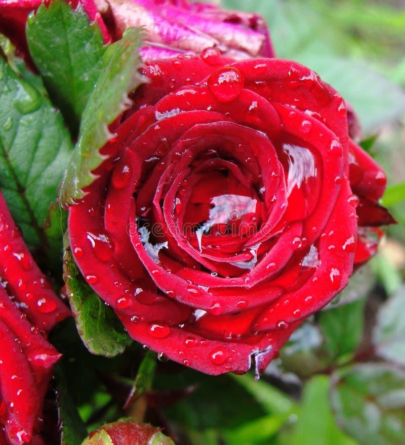 Flor Rose Drops Petals fotos de archivo