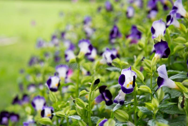 Download Flor roxa foto de stock. Imagem de verde, consideravelmente - 26523736