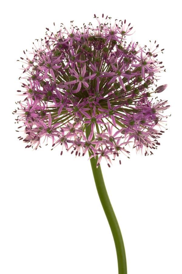Flor roxa bonita foto de stock