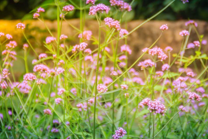 A flor roxa bonita do bonariensis do Verbena, igualmente sabe como o pur fotos de stock royalty free