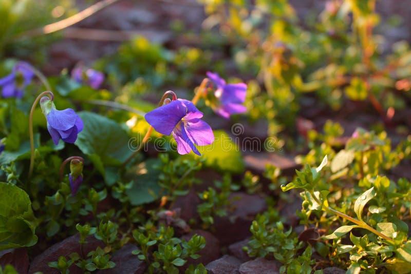 Flor roxa bonita durante o nascer do sol imagem de stock