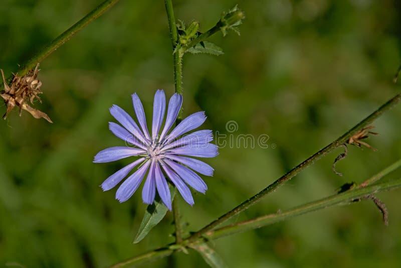 Flor roxa brilhante da chicória em um prado verde fotos de stock
