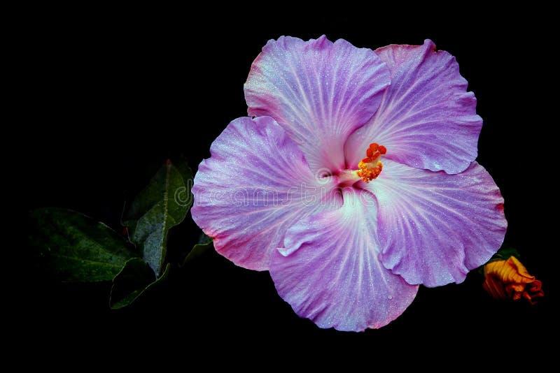 Flor roxa chinesa bonita do hibiscus imagem de stock
