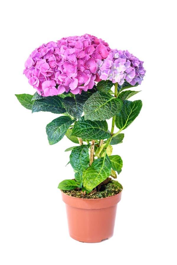Flor roxa cor-de-rosa da hortênsia no potenciômetro de flor no fundo branco imagem de stock royalty free
