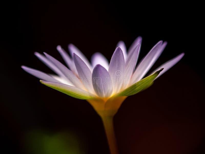 A flor roxa da água dos lótus é flor no fundo preto fotografia de stock