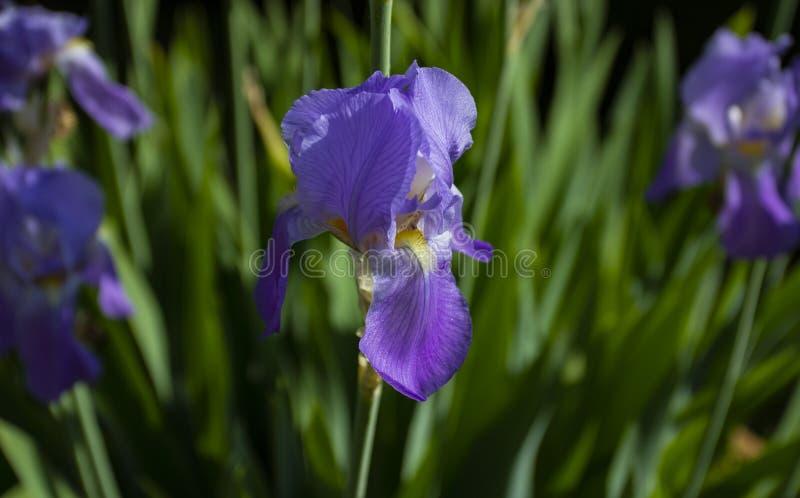 Flor roxa da íris, cores diferentes que crescem na primavera e verão fotos de stock royalty free