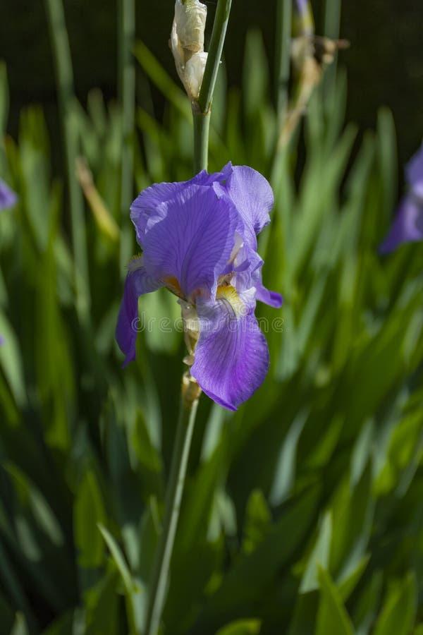Flor roxa da íris, cores diferentes que crescem na primavera e verão foto de stock