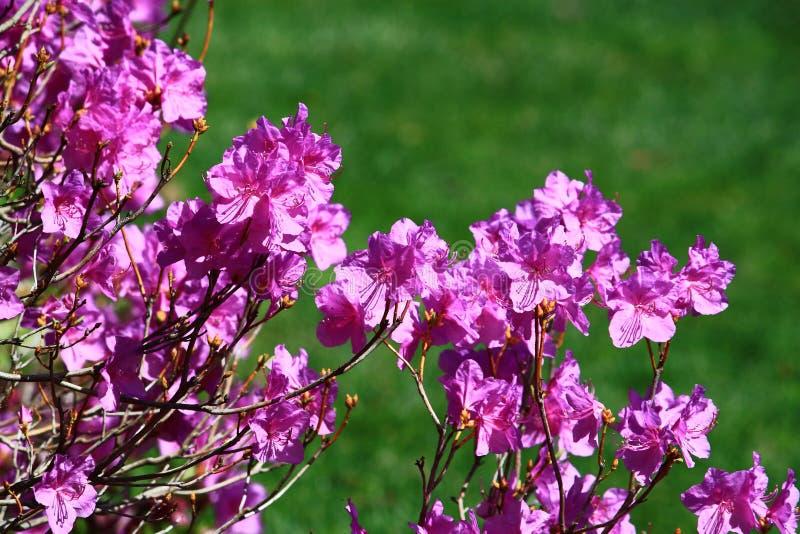 Flor roxa da azálea foto de stock royalty free
