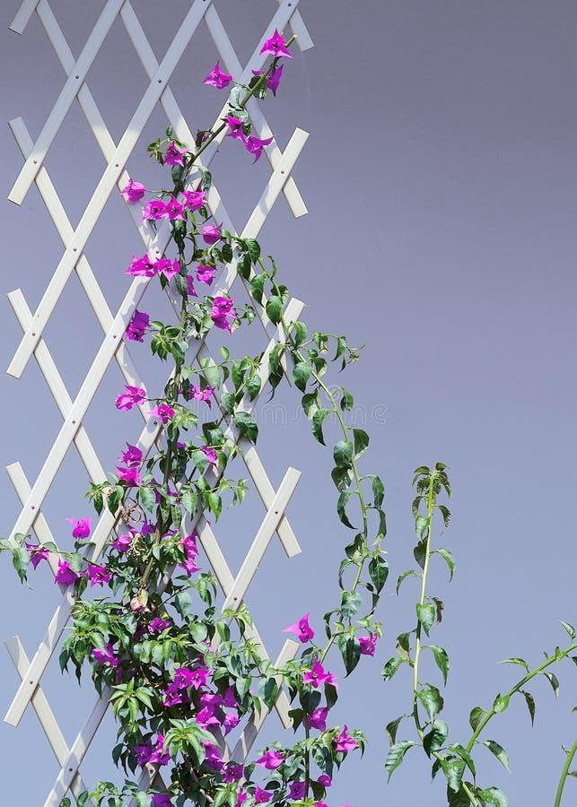 Flor roxa da buganvília na cerca imagem de stock