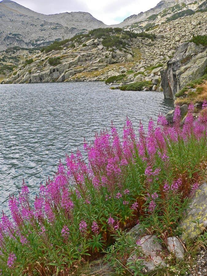 Flor roxa da montanha em um fundo do lago imagens de stock royalty free