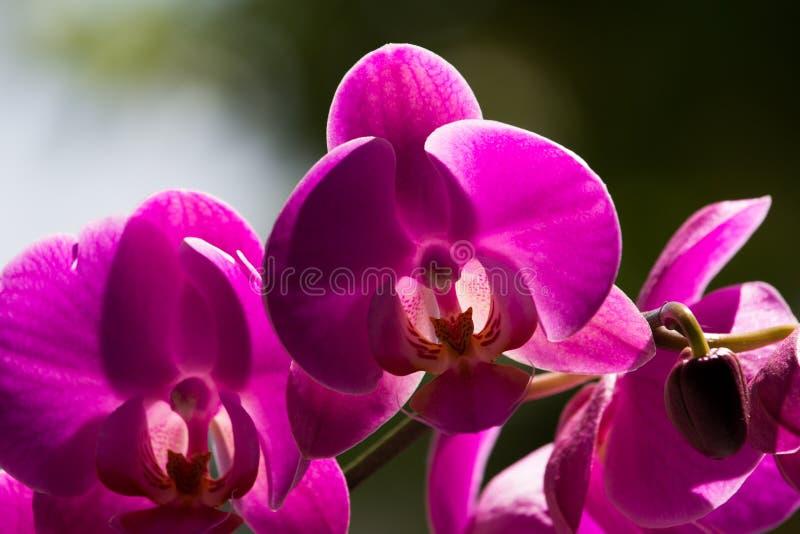 Flor roxa da orquídea foto de stock
