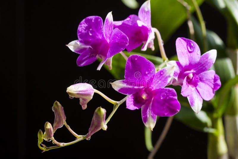 Flor roxa das orquídeas foto de stock