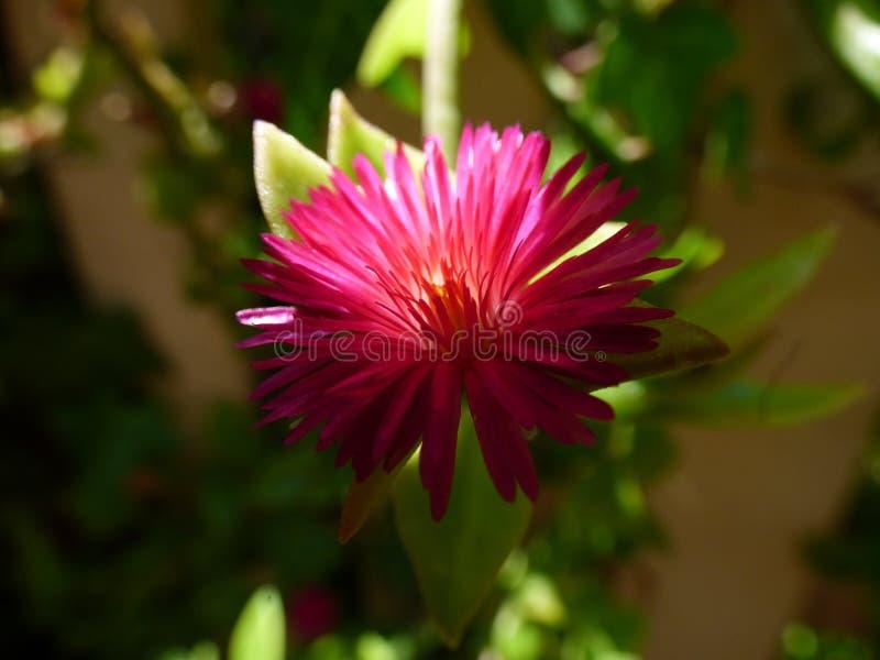Flor roxa de florescência fotos de stock royalty free