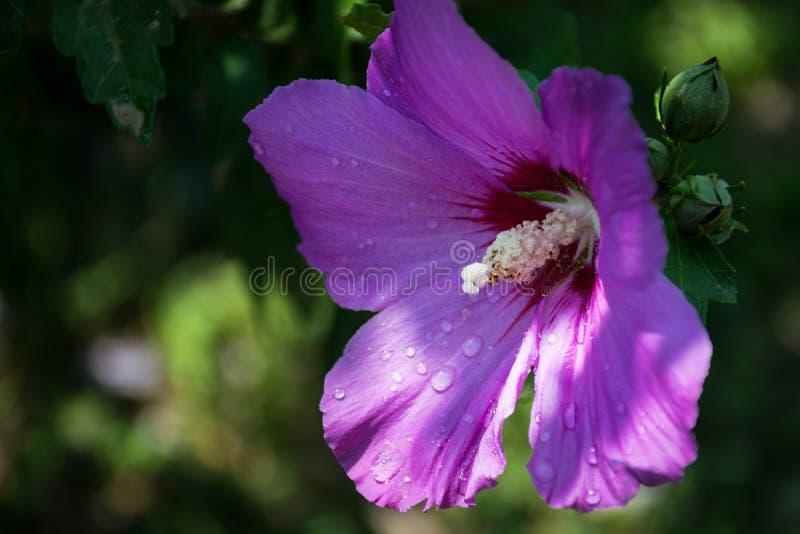 Flor roxa de florescência da malva no fundo obscuro verde fotografia de stock royalty free