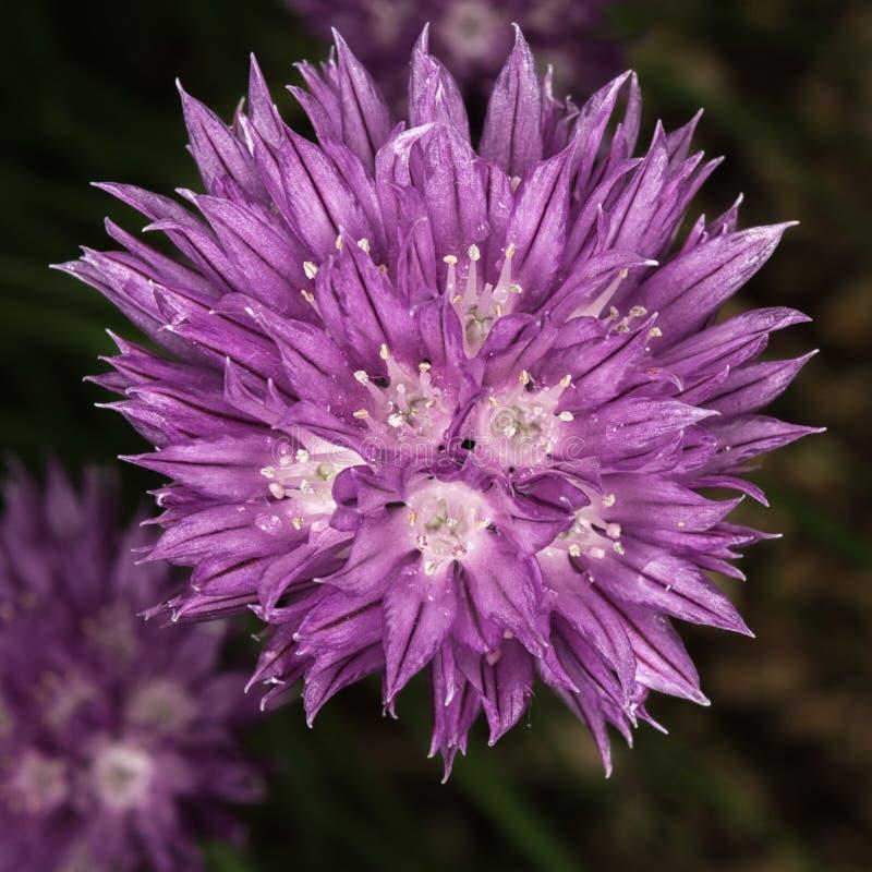 Flor roxa de florescência do cebolinha imagem de stock