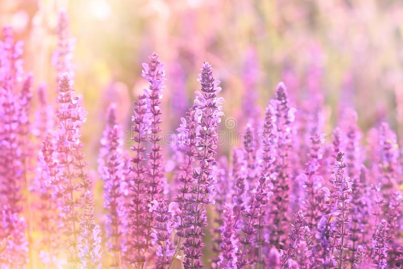 Flor roxa de florescência no prado, flores de florescência na primavera foto de stock royalty free