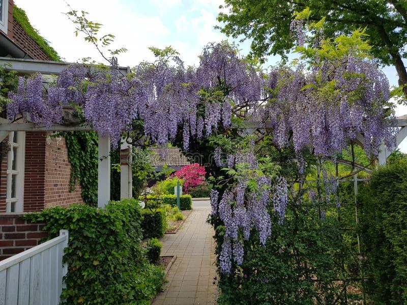 flor roxa de suspensão bonita em um jardim alemão Europa foto de stock royalty free