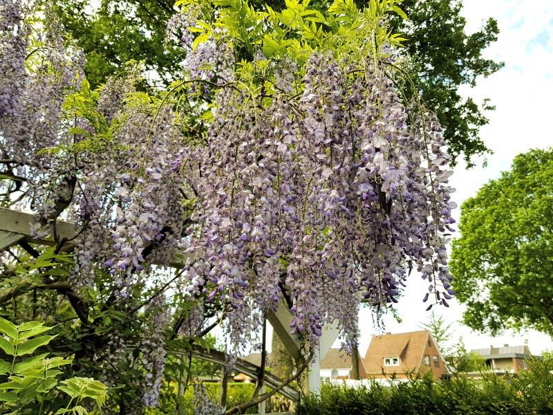 flor roxa de suspensão bonita em um jardim alemão Europa fotos de stock