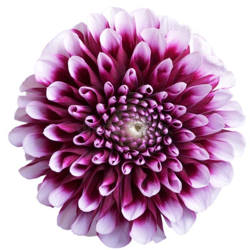 Flor roxa do áster no branco imagens de stock royalty free