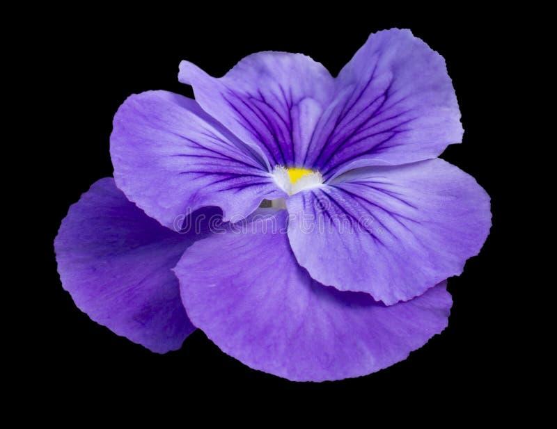 Flor roxa do amor perfeito foto de stock royalty free