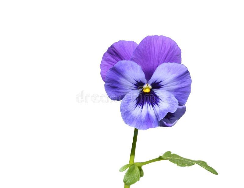 Flor roxa do amor perfeito com folha fotos de stock