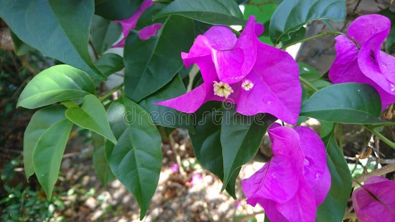Flor roxa do Bougainvillea fotos de stock