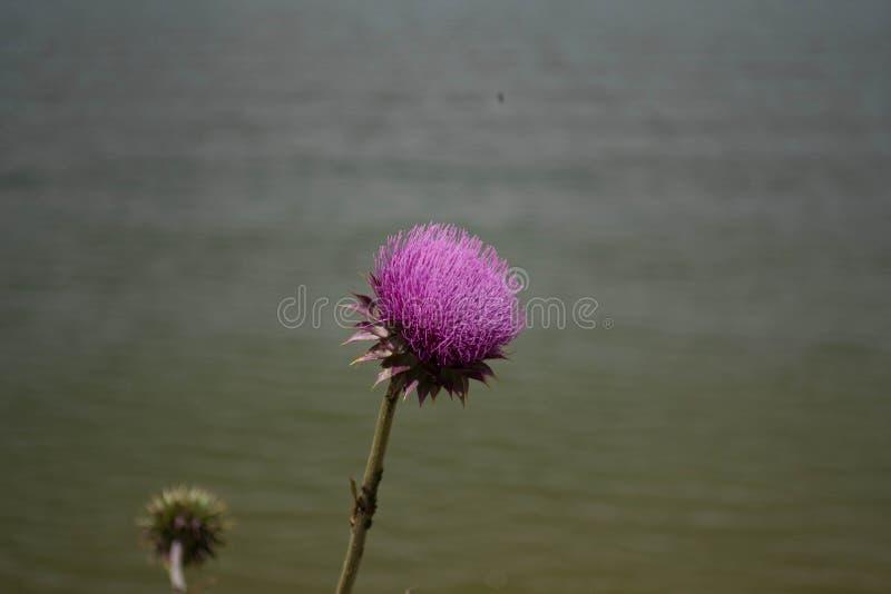 Flor roxa do cardo na flor completa imagens de stock
