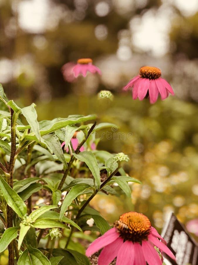 Flor roxa do cone imagens de stock royalty free