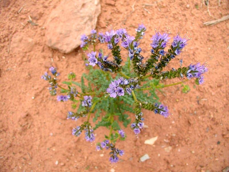 Flor roxa do deserto foto de stock