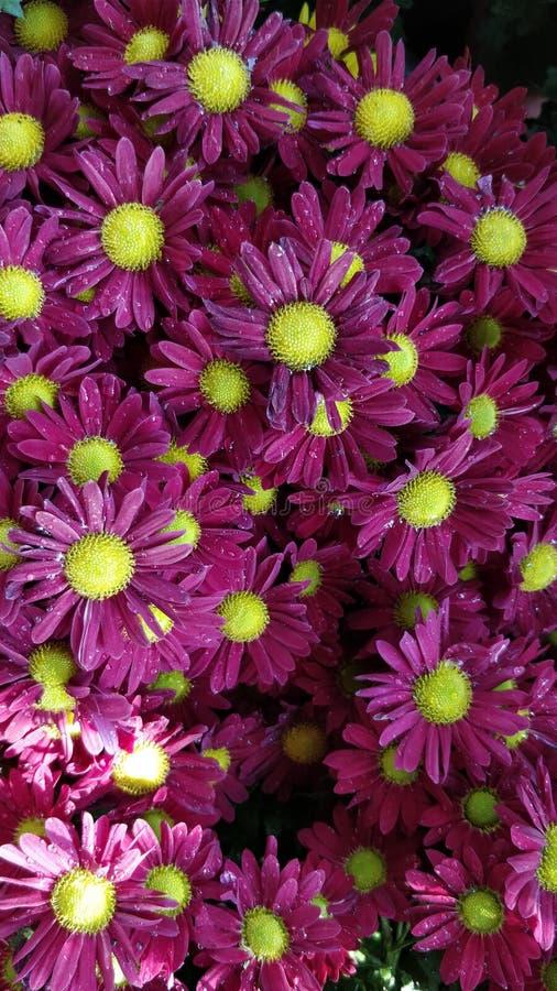 Flor roxa do gerbera imagens de stock