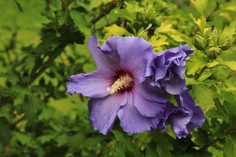Flor roxa do hibiscus imagens de stock