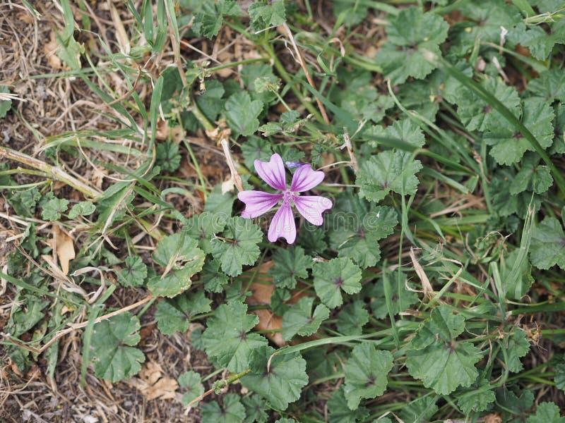 flor roxa do malva fotos de stock