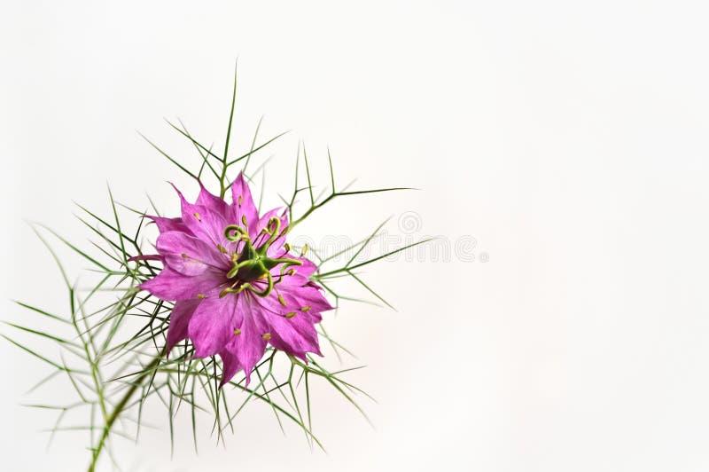 Flor roxa do nigella (amor na névoa) fotografia de stock