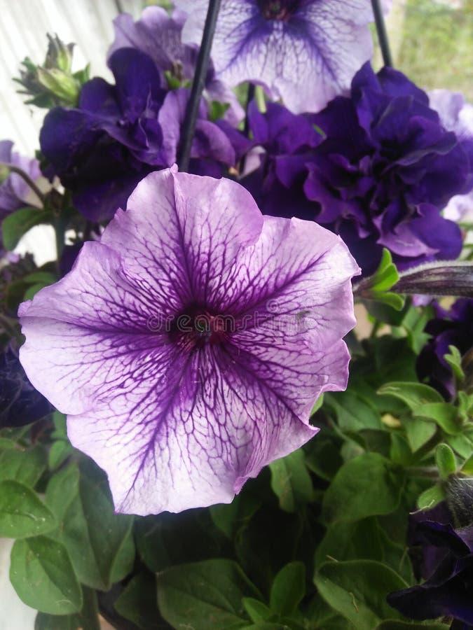 Flor roxa do petúnia na imagem conservada em estoque das folhas verdes imagem de stock royalty free